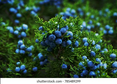 Beautiful bush of a juniper with berries