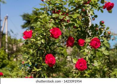 Beautiful bush of red rose in a garden