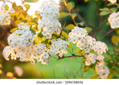 Beautiful bush of Spiraea blossoming in a sunny garden