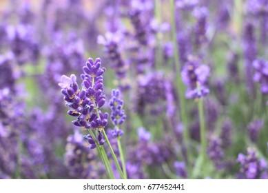 Beautiful bush with violet lavender flowers.