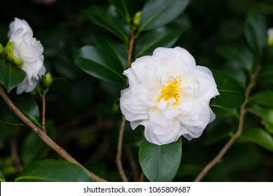 Beautiful bush of white Japanese Camellia flowers (Camelia japonica) with yellow stamens, dark background