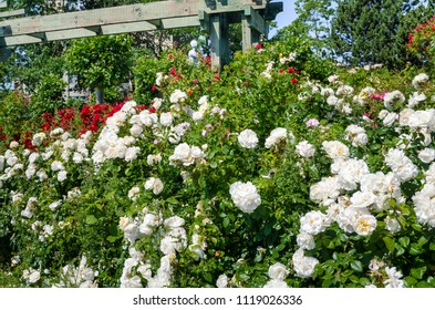Beautiful Bush of White Roses in a Garden on a Sunny Summer Day