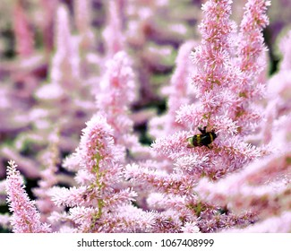 Beautiful Bushes of flowers Astilbe with a fluffy pink panicles and a bumble bee on the flower closeup, nice background