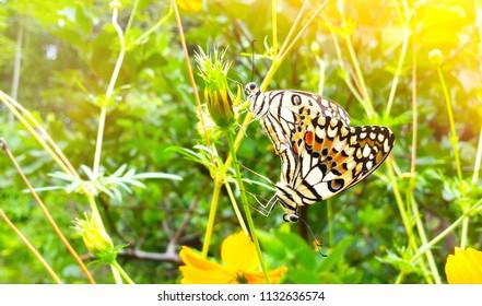 Beautiful butterflies mating on flower
