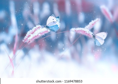 Beautiful butterflies in the snow on the wild grass on a blue and pink background. Snowfall. Artistic winter christmas natural image. Winter and spring background.