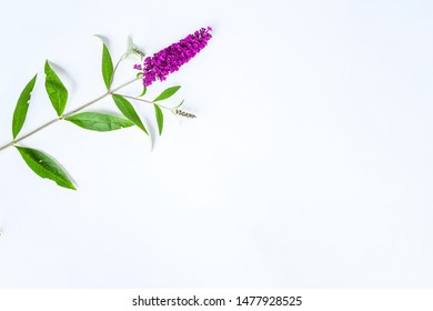 Beautiful butterfly bush  or Buddleia  flower in violet-pink cutting branch on white background isolated  ,a genus many species and attract butterflies and bees to the garden make life happy.