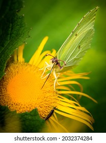 Beautiful butterfly collecting nectar from yellow flower, close-up photo of insect and yellow summer flower
