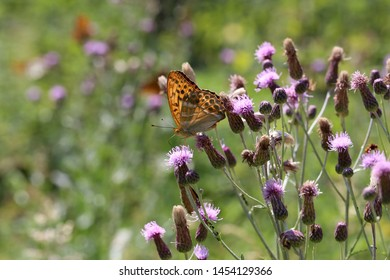 Beautiful butterfly drinks nectar from a flower