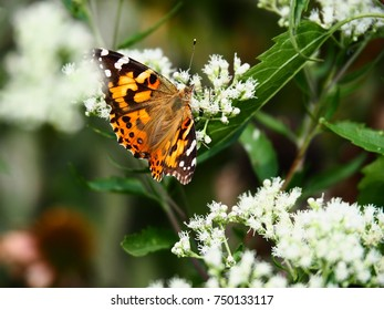 Beautiful butterfly in a flower garden: painted lady butterfly and monarch butterfly