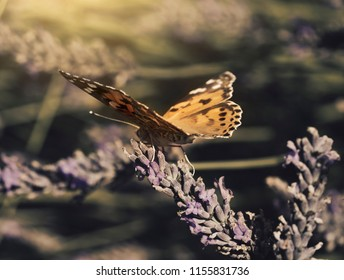 A beautiful butterfly flying on dry lavenders flowers on lavender fields in a hot sunny day with retro fliter,