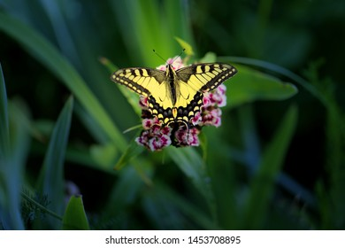 Beautiful butterfly Machaon photographed close-up on a green sheet