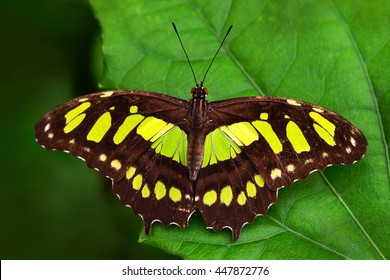 Beautiful butterfly Metamorpha stelenes in nature habitat, from Costa Rica. Butterfly in the green forest. Nice insect sitting on the leave. Butterfly from Costa Rica.