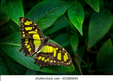 Beautiful butterfly Metamorpha stelenes in nature habitat, from Costa Rica. Nice insect sitting on the leave. Nature in tropical forest.
