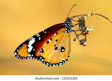 Beautiful butterfly on brown background.