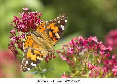 Beautiful butterfly on a flower. An American painted lady butterfly with wings spread perches on a flower.