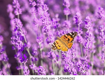Beautiful butterfly on the flowers of lavender eats nectar. Painted lady butterfly on the lavender field during lavender festival.