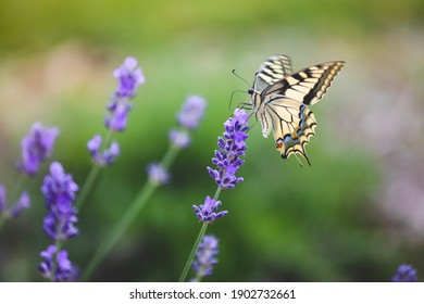 Beautiful butterfly on a lavender