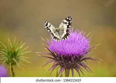 A beautiful butterfly on a Silybum marianum. macro photgraphy