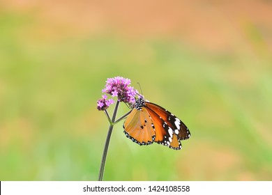 Beautiful butterfly  over verbena flower (Macroglossum stellatarum) in nuture