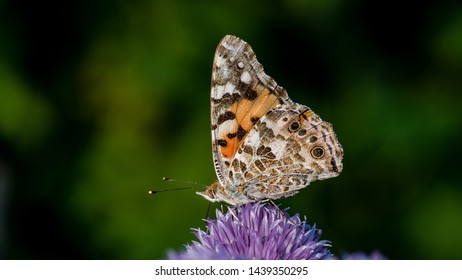 The beautiful butterfly Painted lady or Cosmopolitan (Vanessa cardui) loves the nectar in the flowering chives, after the long flight from Africa, Uppland, Sweden