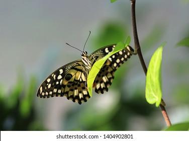Beautiful butterfly Papilio demoleus closeup
