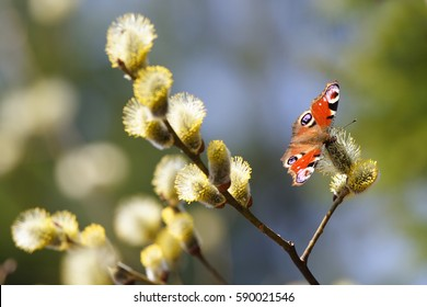 A beautiful butterfly Peacock-eye (Nymphalidae) spring Sunny day. Willow branch with yellow fluffy flowers. Blurred the background.