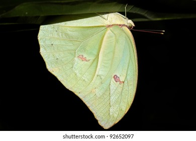 A beautiful butterfly in the Peruvian Amazon (mimicking a leaf) Isolated on black with plenty of space for text