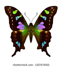 Beautiful butterfly Purple spotted swallowtail the most beautiful multiple colors pink purple green blue and dark brown butterfly of new guinea isolated on white background, Graphium weiskei