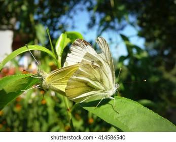 Beautiful butterfly in Ukraine in nature