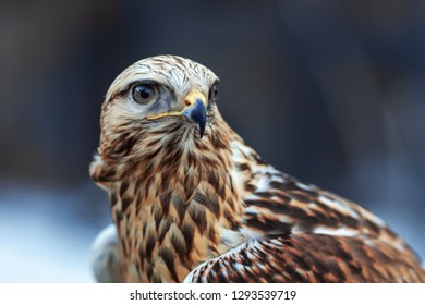 beautiful buzzard close-up