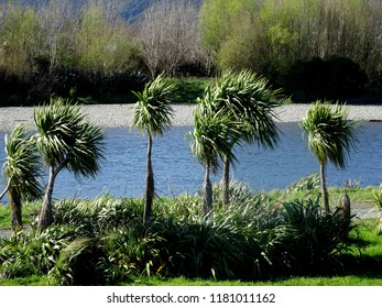 Beautiful cabbage tree palms  growing beside Hutt River Lower Hutt New Zealand