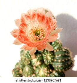 Beautiful cactus flowers on soft pastel color in blur style