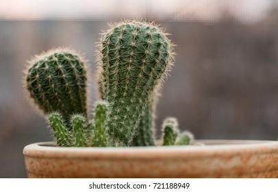 beautiful cactus in a pot