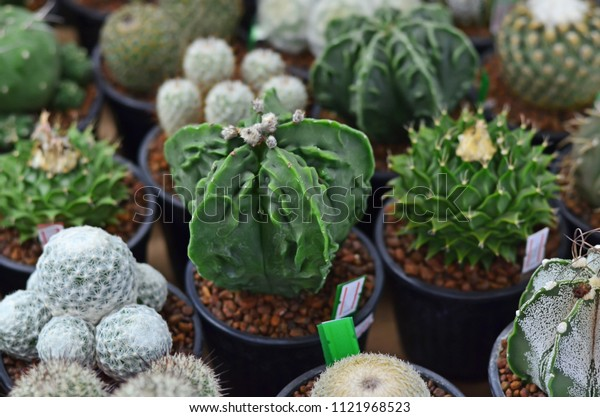 Beautiful cactus or succulent plant selling in plant market
