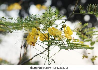 Beautiful Caesalpinia pulcherrima yellow  flower.