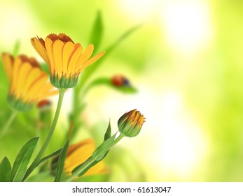 Beautiful Calendula officinalis background
