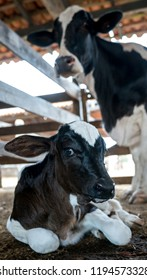 Beautiful calf at a cattle farm laying in the barn with its mother.