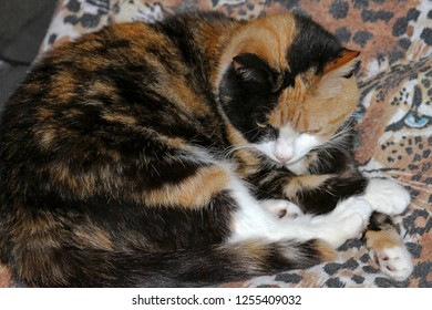 A beautiful calico cat lying on a blanket is camouflaged by the tiger print on it
