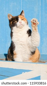 Beautiful calico cat playing with her paw in the air, against a blue barn