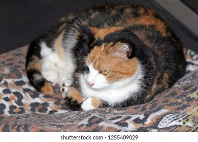 A beautiful calico cat rests on a tiger blanket and blends in to its colors and patterns