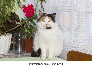 Beautiful calico cat sits on table near pots with flowers