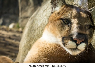 Beautiful California mountain lion staring into the distance.