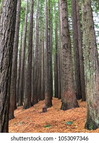 Beautiful Californian Redwood Trees in forest along the Great Ocean Road in Victoria Australia