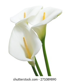 beautiful calla flowers isolated on the white background