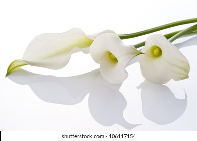 beautiful calla on white background
