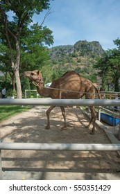 Beautiful camel behind the fence in farm.