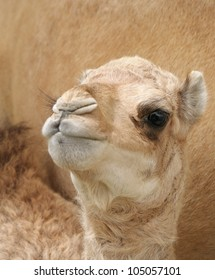 A beautiful camel calf seeing the lens