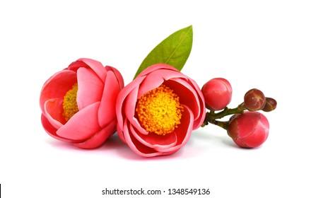 Beautiful Camellia flower (Camellia amplexicaulis flower) isolated on white background