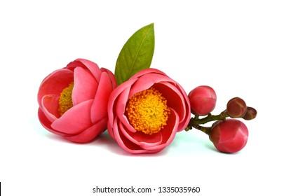 Beautiful Camellia flower isolated on white background