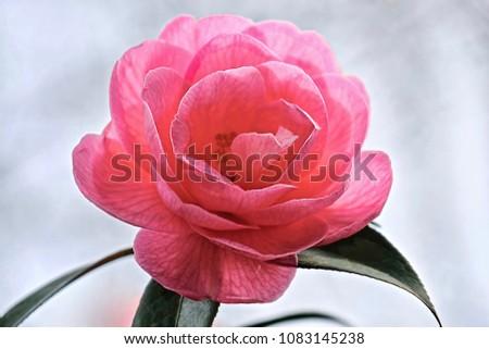 Beautiful Camellia Flower Van Duzen Botanical Stockfoto Jetzt